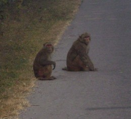 Picture of Monkeys sitting in the road.