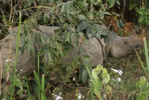 Picture of wild rhino within feet of our position.