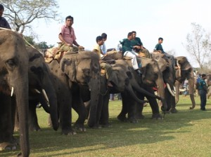 Picture of the starting line-up for one of the elephant races.