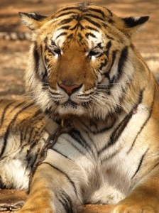 Picture of one of the tigers front on as it dozes in the sun.