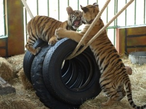 Picture of two of the cubs playing 'king of the castle on tyres suspended on ropes