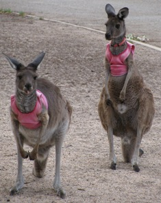 Picture of two of the young kangaroos wearing little pink crop-tops.