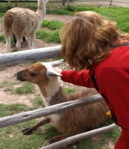 Picture of Cathy stroking an Alpaca.